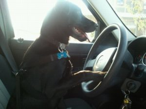 Aj the dog, driving on his way to work